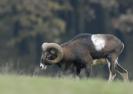 Muflon fotók